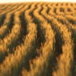 wheat_main