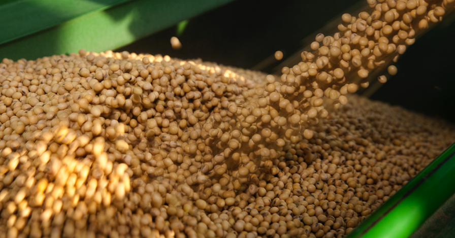 soybean seed selection